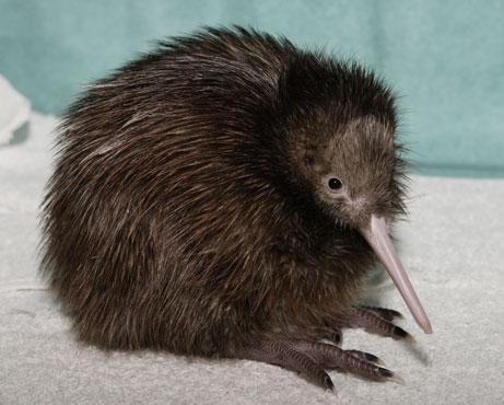 KIWI-NEW ZEALAND